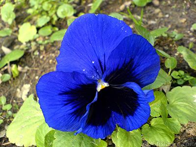 Lacivert renklerde Hercai Menekşe çiçeği resmi. <i>(Ailesi: Violaceae, Türü: Viola tricolor)</i> <br>Çekim Tarihi: Şubat 2011, Yer: Yalova-Termal, Fotoğraf: islamiSanat.net