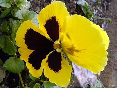 Yellow color Viola Tricolor -Heartsease, Pansy, Multicoloured Violet, Johnny Jump Up- flower. <i>(Family: Violaceae, Species: Viola tricolor)</i> <br>Photo Date: February 2011, Location: Turkey/Yalova-Termal, By: Artislamic.com