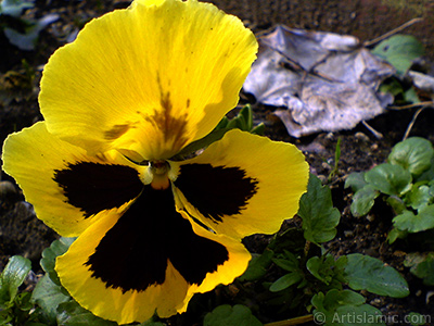Yellow color Viola Tricolor -Heartsease, Pansy, Multicoloured Violet, Johnny Jump Up- flower.