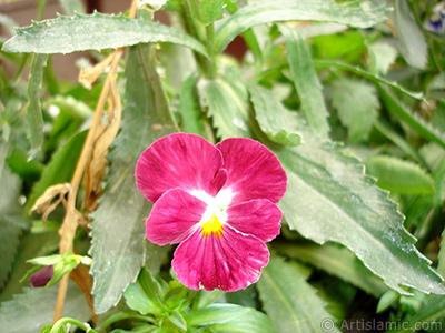 Bordo renklerde Hercai Menekşe çiçeği resmi. <i>(Ailesi: Violaceae, Türü: Viola tricolor)</i> <br>Çekim Tarihi: Ağustos 2008, Yer: Yalova-Termal, Fotoğraf: islamiSanat.net