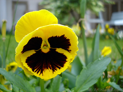 Yellow color Viola Tricolor -Heartsease, Pansy, Multicoloured Violet, Johnny Jump Up- flower. <i>(Family: Violaceae, Species: Viola tricolor)</i> <br>Photo Date: May 2005, Location: Turkey/Istanbul, By: Artislamic.com
