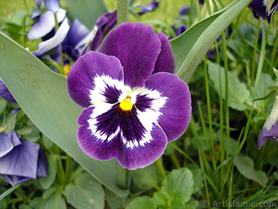 Purple color Viola Tricolor -Heartsease, Pansy, Multicoloured Violet, Johnny Jump Up- flower.