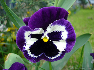 Purple color Viola Tricolor -Heartsease, Pansy, Multicoloured Violet, Johnny Jump Up- flower. <i>(Family: Violaceae, Species: Viola tricolor)</i> <br>Photo Date: May 2005, Location: Turkey/Istanbul, By: Artislamic.com