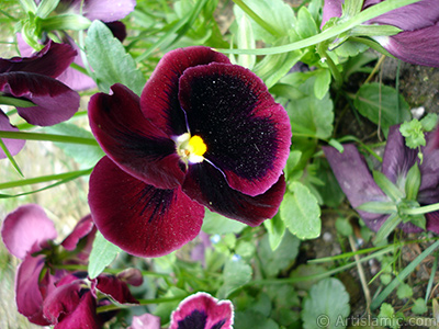 Burgundy color Viola Tricolor -Heartsease, Pansy, Multicoloured Violet, Johnny Jump Up- flower. <i>(Family: Violaceae, Species: Viola tricolor)</i> <br>Photo Date: May 2005, Location: Turkey/Istanbul, By: Artislamic.com