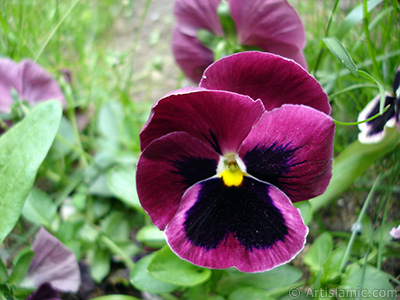 Burgundy color Viola Tricolor -Heartsease, Pansy, Multicoloured Violet, Johnny Jump Up- flower.