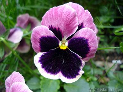 Bordo renklerde Hercai Menekşe çiçeği resmi. <i>(Ailesi: Violaceae, Türü: Viola tricolor)</i> <br>Çekim Tarihi: Mayıs 2005, Yer: İstanbul, Fotoğraf: islamiSanat.net
