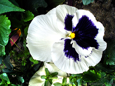 White color Viola Tricolor -Heartsease, Pansy, Multicoloured Violet, Johnny Jump Up- flower. <i>(Family: Violaceae, Species: Viola tricolor)</i> <br>Photo Date: May 2005, Location: Turkey/Istanbul, By: Artislamic.com