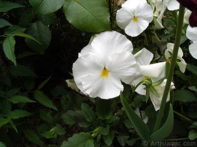 Beyaz renklerde Hercai Menekşe çiçeği resmi. <i>(Ailesi: Violaceae, Türü: Viola tricolor)</i> <br>Çekim Tarihi: Mayıs 2005, Yer: İstanbul, Fotoğraf: islamiSanat.net