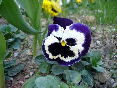 Mor renklerde Hercai Menekşe çiçeği resmi. <i>(Ailesi: Violaceae, Türü: Viola tricolor)</i> <br>Çekim Tarihi: Nisan 2005, Yer: İstanbul, Fotoğraf: islamiSanat.net