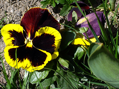 Brown color Viola Tricolor -Heartsease, Pansy, Multicoloured Violet, Johnny Jump Up- flower.