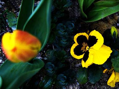 Sarı renklerde Hercai Menekşe çiçeği resmi. <i>(Ailesi: Violaceae, Türü: Viola tricolor)</i> <br>Çekim Tarihi: Nisan 2005, Yer: İstanbul, Fotoğraf: islamiSanat.net