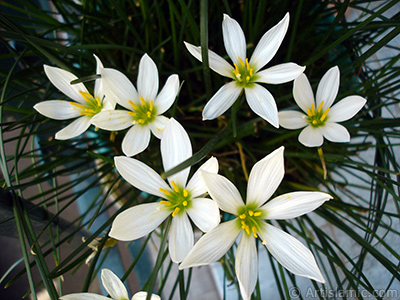 White color flower similar to lily. It is 35 years old and its grower calls it as `wheat lilly`. <i>(Family: Liliaceae, Species: Lilium)</i> <br>Photo Date: September 2006, Location: Turkey/Istanbul-Mother`s Flowers, By: Artislamic.com