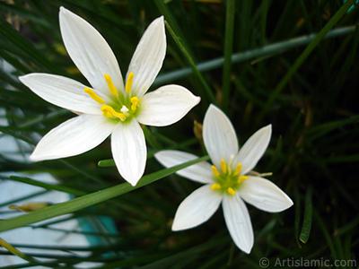 Beyaz zambak türünde bir çiçek resmi. (Çiçek 35 yıllık olup yetiştiricisi tarafından `Buğday Zambağı` olarak isimlendirilmektedir.) <i>(Ailesi: Liliaceae, Türü: Lilium)</i> <br>Çekim Tarihi: Eylül 2006, Yer: İstanbul-Annemin Çiçekleri, Fotoğraf: islamiSanat.net