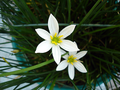 White color flower similar to lily.