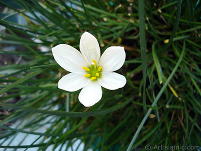 Beyaz zambak türünde bir çiçek resmi. (Çiçek 35 yıllık olup yetiştiricisi tarafından `Buğday Zambağı` olarak isimlendirilmektedir.) <i>(Ailesi: Liliaceae, Türü: Lilium)</i> <br>Çekim Tarihi: Ağustos 2006, Yer: İstanbul-Annemin Çiçekleri, Fotoğraf: islamiSanat.net