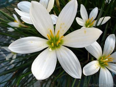Beyaz zambak türünde bir çiçek resmi. (Çiçek 35 yıllık olup yetiştiricisi tarafından `Buğday Zambağı` olarak isimlendirilmektedir.) <i>(Ailesi: Liliaceae, Türü: Lilium)</i> <br>Çekim Tarihi: Eylül 2005, Yer: İstanbul-Annemin Çiçekleri, Fotoğraf: islamiSanat.net