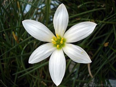 Beyaz zambak türünde bir çiçek resmi. (Çiçek 35 yıllık olup yetiştiricisi tarafından `Buğday Zambağı` olarak isimlendirilmektedir.) <i>(Ailesi: Liliaceae, Türü: Lilium)</i> <br>Çekim Tarihi: Ağustos 2005, Yer: İstanbul-Annemin Çiçekleri, Fotoğraf: islamiSanat.net