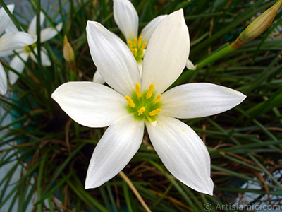 White color flower similar to lily. It is 35 years old and its grower calls it as `wheat lilly`. <i>(Family: Liliaceae, Species: Lilium)</i> <br>Photo Date: August 2005, Location: Turkey/Istanbul-Mother`s Flowers, By: Artislamic.com