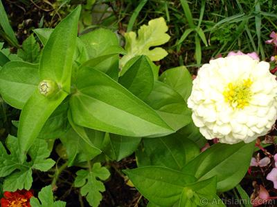 Papatyagiller çiçek ailesine mensup Yıldız (Dahlia) çiçeği resmi. <i>(Ailesi: Asteraceae, Compositae, Türü: Dahlia)</i> <br>Çekim Tarihi: Ağustos 2008, Yer: Yalova-Termal, Fotoğraf: islamiSanat.net