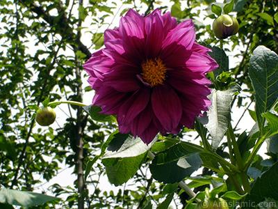 Dahlia flower. <i>(Family: Asteraceae, Compositae, Species: Dahlia)</i> <br>Photo Date: July 2005, Location: Turkey/Trabzon, By: Artislamic.com
