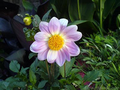 Dahlia flower. <i>(Family: Asteraceae, Compositae, Species: Dahlia)</i> <br>Photo Date: July 2008, Location: Turkey/Yalova-Termal, By: Artislamic.com
