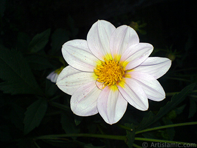Dahlia flower. <i>(Family: Asteraceae, Compositae, Species: Dahlia)</i> <br>Photo Date: July 2010, Location: Turkey/Yalova-Termal, By: Artislamic.com