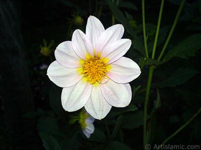 Papatyagiller çiçek ailesine mensup Yıldız (Dahlia) çiçeği resmi. <i>(Ailesi: Asteraceae, Compositae, Türü: Dahlia)</i> <br>Çekim Tarihi: Temmuz 2010, Yer: Yalova-Termal, Fotoğraf: islamiSanat.net
