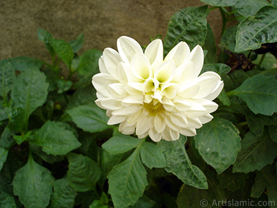 Dahlia flower. <i>(Family: Asteraceae, Compositae, Species: Dahlia)</i> <br>Photo Date: August 2008, Location: Turkey/Yalova-Termal, By: Artislamic.com