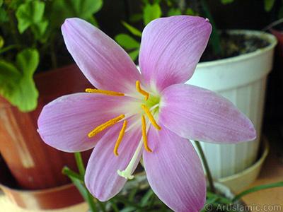 Pembe renkte zambak türünde bir çiçek resmi. (Çiçek 35 yıllık olup yetiştiricisi tarafından `Zıpçıktı` veya `Buğday Zambağı` olarak isimlendirilmektedir.) <i>(Ailesi: Liliaceae, Türü: Lilium)</i> <br>Çekim Tarihi: Eylül 2007, Yer: İstanbul-Annemin Çiçekleri, Fotoğraf: islamiSanat.net