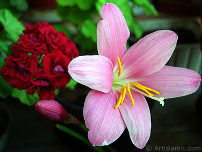 Pink color flower similar to lily.