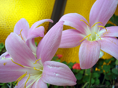 Pembe renkte zambak türünde bir çiçek resmi. (Çiçek 35 yıllık olup yetiştiricisi tarafından `Zıpçıktı` veya `Buğday Zambağı` olarak isimlendirilmektedir.) <i>(Ailesi: Liliaceae, Türü: Lilium)</i> <br>Çekim Tarihi: Temmuz 2009, Yer: İstanbul-Annemin Çiçekleri, Fotoğraf: islamiSanat.net