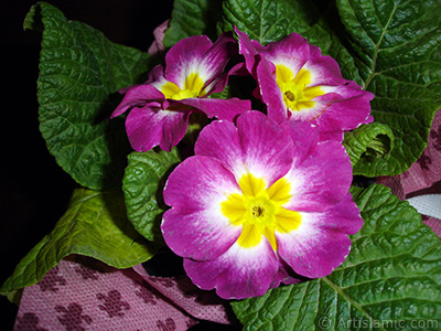 Primrose flower. <i>(Family: Primulaceae, Species: Primula)</i> <br>Photo Date: January 2005, Location: Turkey/Istanbul, By: Artislamic.com