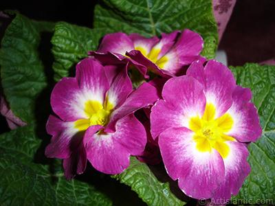 Primrose flower. <i>(Family: Primulaceae, Species: Primula)</i> <br>Photo Date: January 2005, Location: Turkey/Istanbul, By: Artislamic.com