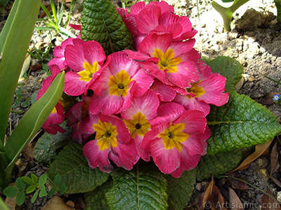 Primrose flower. <i>(Family: Primulaceae, Species: Primula)</i> <br>Photo Date: April 2005, Location: Turkey/Istanbul, By: Artislamic.com