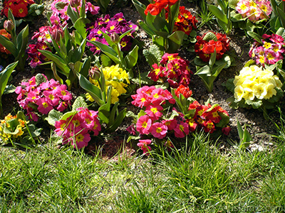 Primrose flower. <i>(Family: Primulaceae, Species: Primula)</i> <br>Photo Date: April 2005, Location: Turkey/Istanbul, By: Artislamic.com