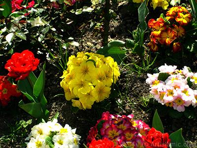 Çuha çiçeği resmi. <i>(Ailesi: Primulaceae, Türü: Primula)</i> <br>Çekim Tarihi: Nisan 2005, Yer: İstanbul, Fotoğraf: islamiSanat.net