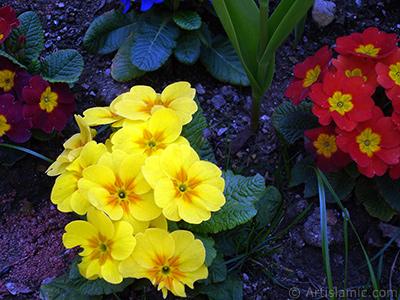 A primrose flower photo. <i>(Family: Primulaceae, Species: Primula)</i> <br>Photo Date: April 2005, Location: Turkey/Istanbul, By: Artislamic.com