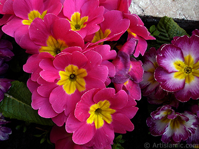 A primrose flower photo. <i>(Family: Primulaceae, Species: Primula)</i> <br>Photo Date: April 2005, Location: Turkey/Istanbul, By: Artislamic.com