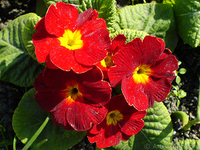 A primrose flower photo. <i>(Family: Primulaceae, Species: Primula)</i> <br>Photo Date: February 2011, Location: Turkey/Istanbul, By: Artislamic.com