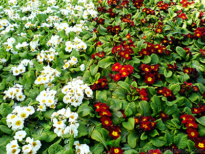 A primrose flower photo. <i>(Family: Primulaceae, Species: Primula)</i> <br>Photo Date: February 2011, Location: Turkey/Istanbul, By: Artislamic.com
