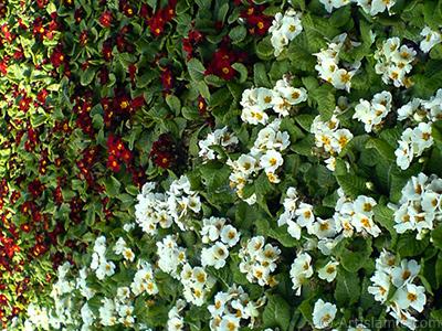 Çuha çiçeği resmi. <i>(Ailesi: Primulaceae, Türü: Primula)</i> <br>Çekim Tarihi: Şubat 2011, Yer: İstanbul, Fotoğraf: islamiSanat.net