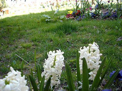 White color Hyacinth flower.