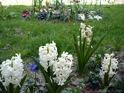 White color Hyacinth flower. <i>(Family: Hyacinthaceae, Species: Hyacinthus)</i> <br>Photo Date: April 2005, Location: Turkey/Istanbul, By: Artislamic.com