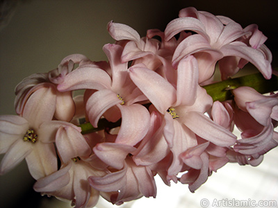 Pink color Hyacinth flower. <i>(Family: Hyacinthaceae, Species: Hyacinthus)</i> <br>Photo Date: March 2011, Location: Turkey/Istanbul, By: Artislamic.com