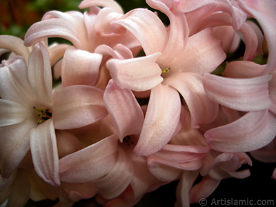 Pink color Hyacinth flower.