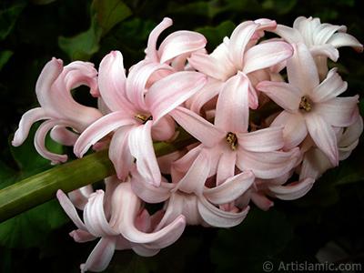 Pembe renkte sümbül çiçeği resmi. <i>(Ailesi: Hyacinthaceae, Türü: Hyacinthus)</i> <br>Çekim Tarihi: Mart 2011, Yer: İstanbul, Fotoğraf: islamiSanat.net
