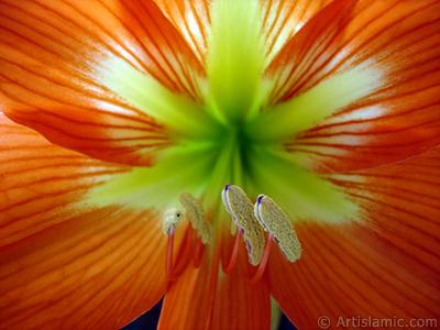Kırmızı zambak çiçeği resmi. <i>(Ailesi: Amaryllidaceae / Liliaceae, Türü: Hippeastrum)</i> <br>Çekim Tarihi: Haziran 2005, Yer: İstanbul-Annemin Çiçekleri, Fotoğraf: islamiSanat.net
