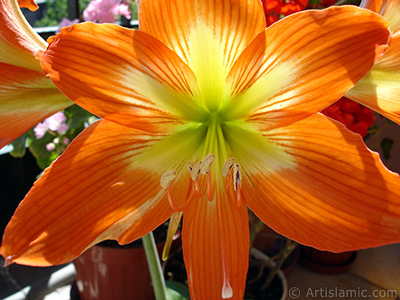 Red color amaryllis flower. <i>(Family: Amaryllidaceae / Liliaceae, Species: Hippeastrum)</i> <br>Photo Date: June 2005, Location: Turkey/Istanbul-Mother`s Flowers, By: Artislamic.com