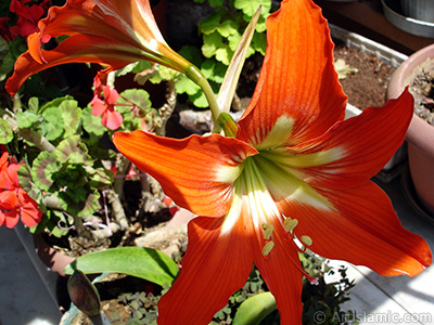 Red color amaryllis flower. <i>(Family: Amaryllidaceae / Liliaceae, Species: Hippeastrum)</i> <br>Photo Date: May 2010, Location: Turkey/Istanbul-Mother`s Flowers, By: Artislamic.com
