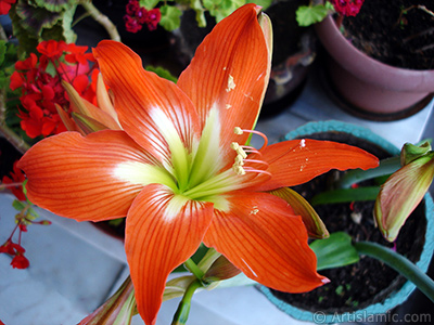 Red color amaryllis flower.